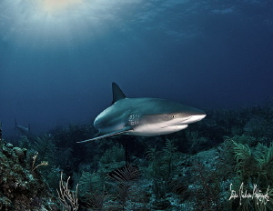 The Sharks of the Bahamas keep the reefs healthy and clean. by Steven Anderson 